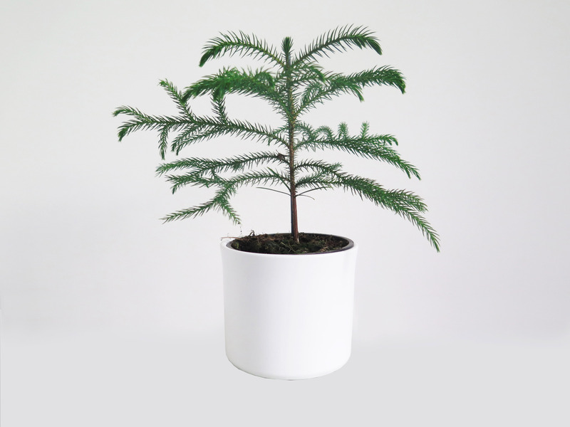 Araucaria%20potted%20plant%20white