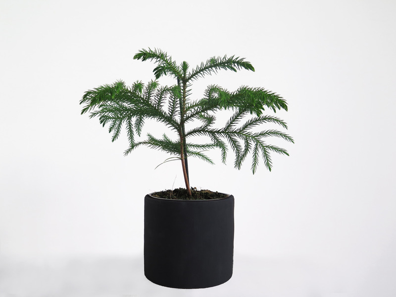 Araucaria%20potted%20plant%20black